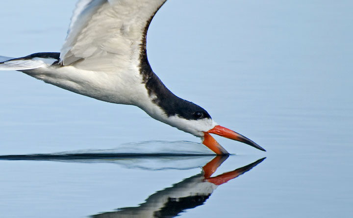 Black Skimmer Closeup