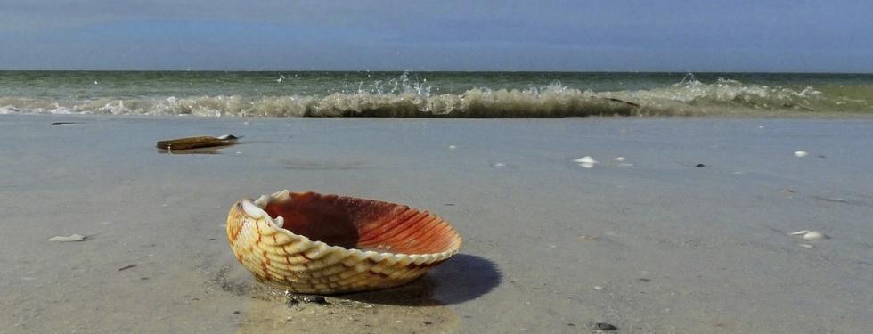 Calico Shell